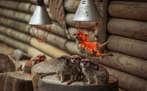 Wallpaper lamp, meerkats, family