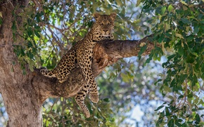 Picture tree, stay, foliage, predator, branch, leopard, wild cat