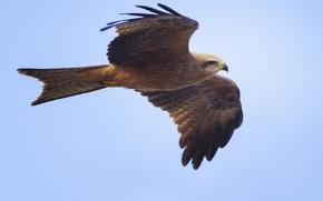 Wallpaper Milvus migrans, black kite, predator, black kite, flight, wings, blue, background, bird, stroke, the sky