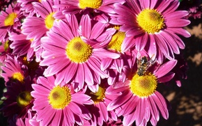 Picture beauty, pink, chrysanthemum