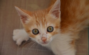 Picture look, red, muzzle, kitty, eyes, ginger kitten
