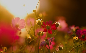 Picture flowers, glare, flowerbed, at sunset, kosmeya