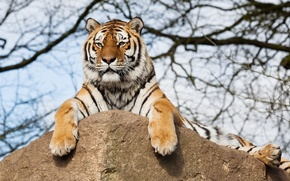 Picture rock, tiger, tree, branches