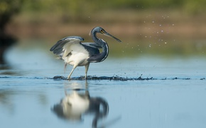 Picture bird, water, lake, reflection, wildlife, fishing, heron, hunting