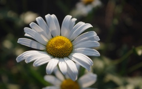 Picture summer, flowers, chamomile