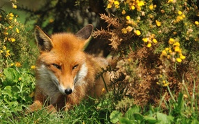 Picture summer, grass, look, face, Fox, red, Fox