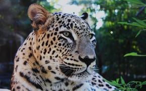 Wallpaper mustache, leopard, brooding