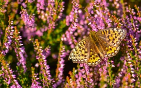 Picture macro, butterfly, Heather, Fritillary Aglaia