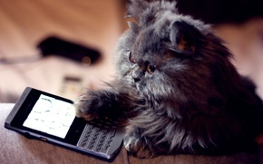 Picture eyes, cat, background, Koshak, phone, Tomcat