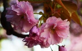 Picture flowers, nature, pink, spring, Sakura