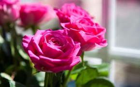 Picture flowers, pink, roses