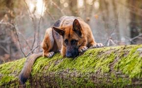 Picture look, nature, Dog, shepherd