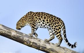 Picture the sky, predator, profile, log, wild cat, the Amur leopard