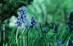 Picture greens, grass, macro, flowers, nature, green, glare, color, treatment, plants, branch, blur, garden, blue, Muscari