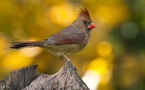 Picture macro, cardinal, Northern, crest, stump, cardinal, blur, bird