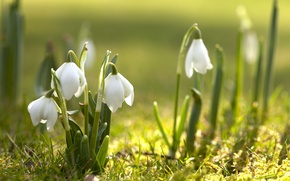 Wallpaper flowers, nature, spring, snowdrops, flowering, primrose
