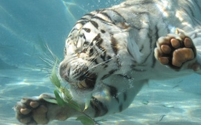 Picture WATER, TIGER, PAWS, GRIN, DIP, FANGS, RAGE