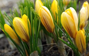 Picture yellow, spring, crocuses