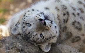 Picture face, predator, IRBIS, snow leopard, wild cat, snow leopard