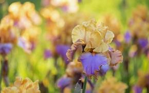 Picture macro, yellow, iris