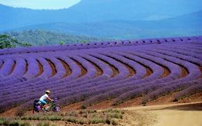Picture girl, Tasmania, tourist, mountain bike, Bridestowe, lavender farm