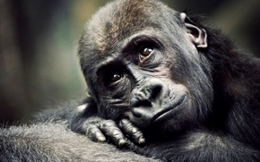 Picture monkey, gorilla, cub, the primacy of