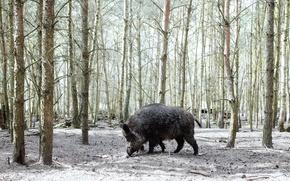 Wallpaper boar, forest, nature