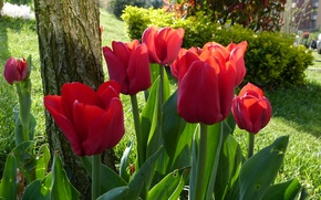 Picture Park, spring, tulips, red, red, spring, Tulips