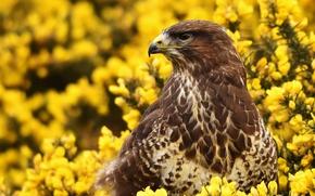 Wallpaper flowers, bird, hawk, Buzzard
