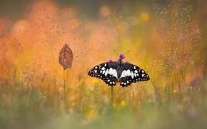 Wallpaper bokeh, macro, sheet, grass, butterfly