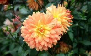 Picture petals, flowerbed, dahlias