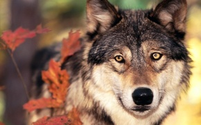 Wallpaper wolf, autumn, leaves