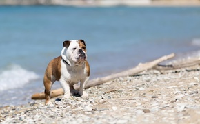 Picture look, each, English bulldog