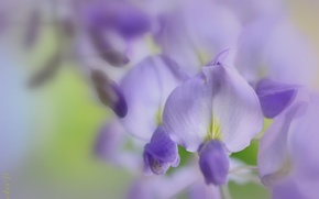Wallpaper flowers, macro, Wisteria, lilac