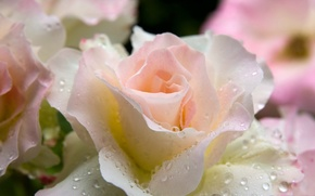 Picture drops, rose, Gentle