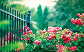 Picture flowers, the fence, Bush, roses, fence, pink, rods, iron