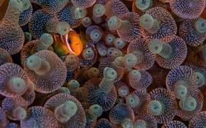 Picture eyes, fish, marine life, sea anemones