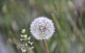 Wallpaper summer, dandelion, white, fluffy