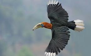 Wallpaper India, wings, Nepali Kalo, Nepalese Hornbill, black-breasted Hornbill, West Bengal, The Himalayas, flight, bird