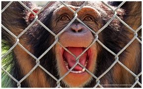 Picture emotions, imprisoned, macaques, animals