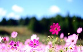 Picture summer, macro, flowers, nature, pink, field, kosmeya