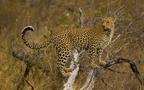 Picture tree, leopard, is, looks, spotted cat