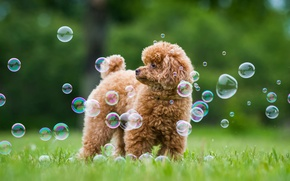 Picture greens, summer, grass, dog, bubbles, Poodle
