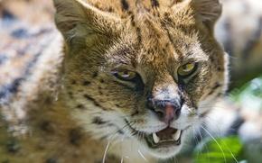 Picture cat, face, fangs, Serval, ©Tambako The Jaguar