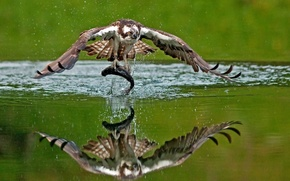 Picture water, reflection, bird, fish, mining, catch, Osprey