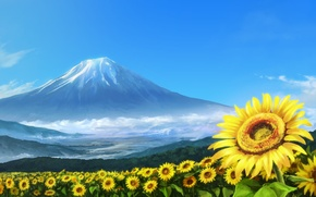 Picture summer, the volcano, field of sunflowers