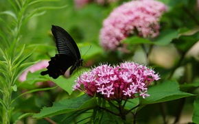 Picture greens, leaves, flowers, pink, butterfly, inflorescence