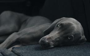 Picture black, close-up, grey, eyes, dog, bokeh, creature, lying, friend, gaze, stare