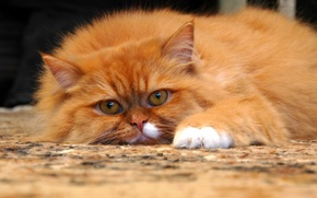 Picture eyes, cat, mustache, look, pose, carpet, paws, wool, fluffy, nose, red, ears