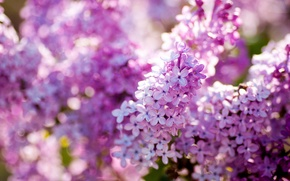 Picture nature, spring, flowering, lilac
